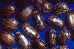 Castor beans for castot oil