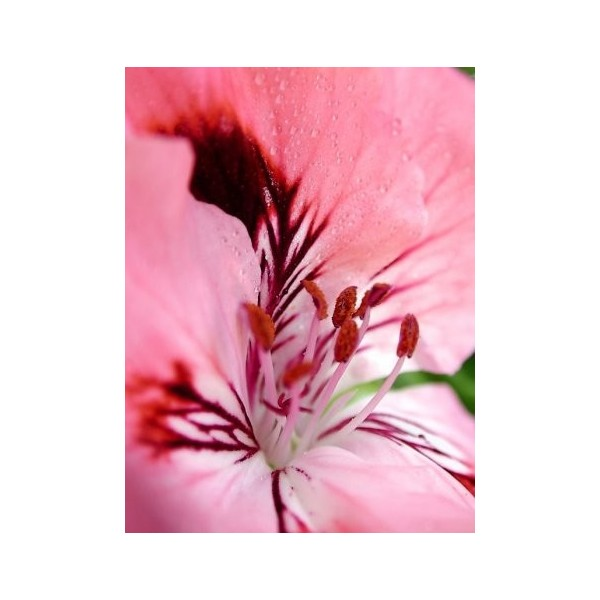 anti aging rosehip seed oil