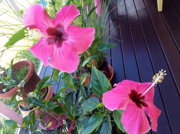 hibiscus for organic cosmetics