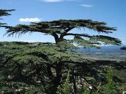 cedarwood tree for cedarwood essential oil