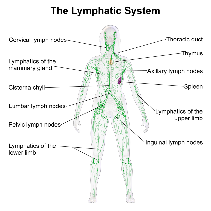 Lymphatic System Female