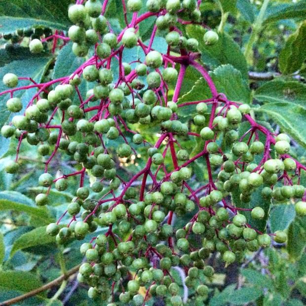 Elderberry photography