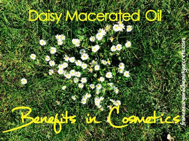 daisy macerated oil