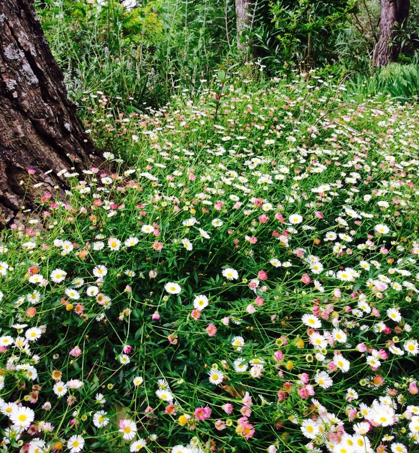 pink bellis perennis flowers benefits in cosmetic
