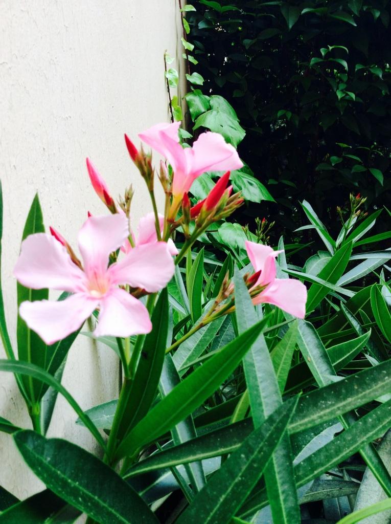 bay tree flowers