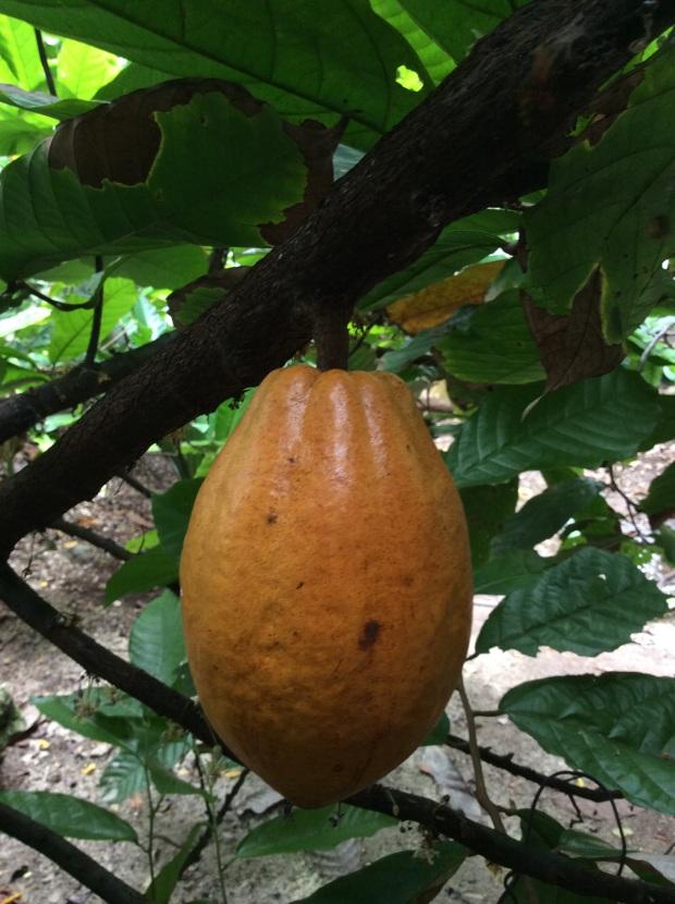 cocoa broad bean