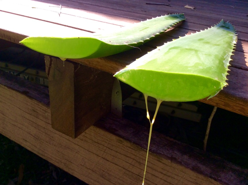 aloe latex driping