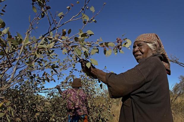 aboriginal woman picking nuts