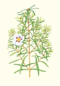 cistus-ladaniferus