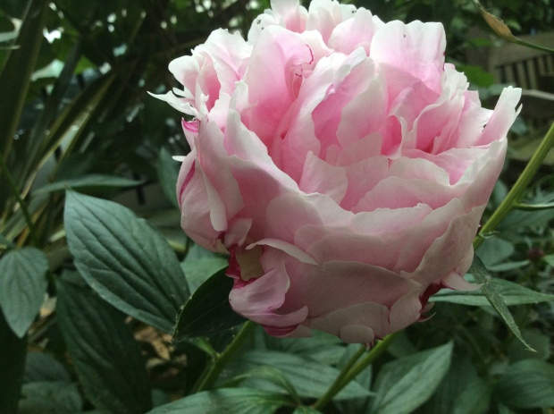 peony for beauty and health