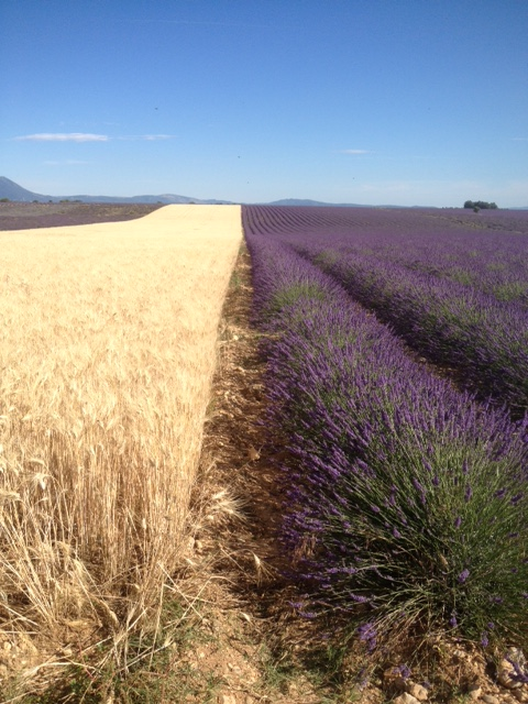 lavender oil for diy shampoo