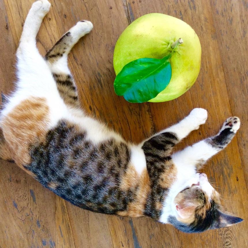 grapefruit and jealous cat