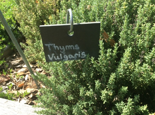 thyme for essential oil