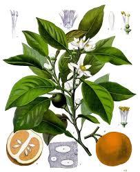 neroli plant meterial for essential oil