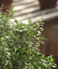 tropical basilic