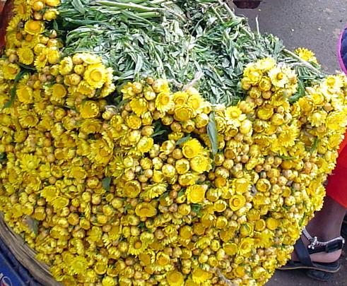 Helichrysum immortelle divine